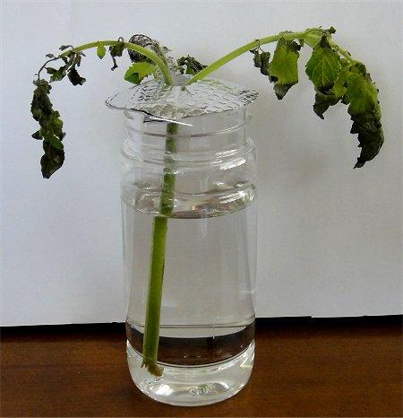 脇 芽 挿し木 トマト